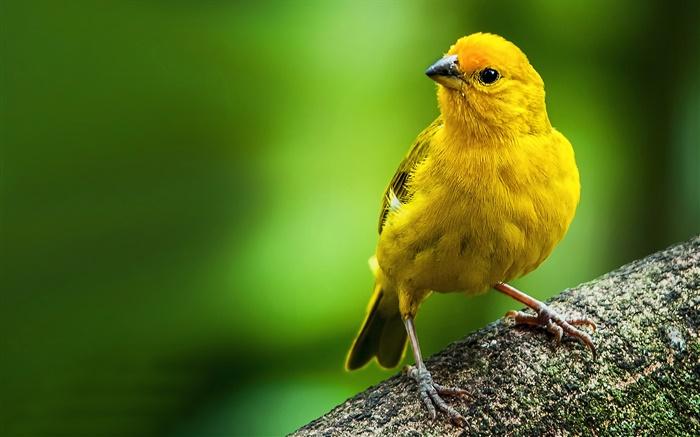 Resultado de imagem para pássaro amarelo